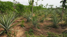 Ananas mit Bodenbedeckung